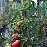 Pestovanie paradajky krok po kroku